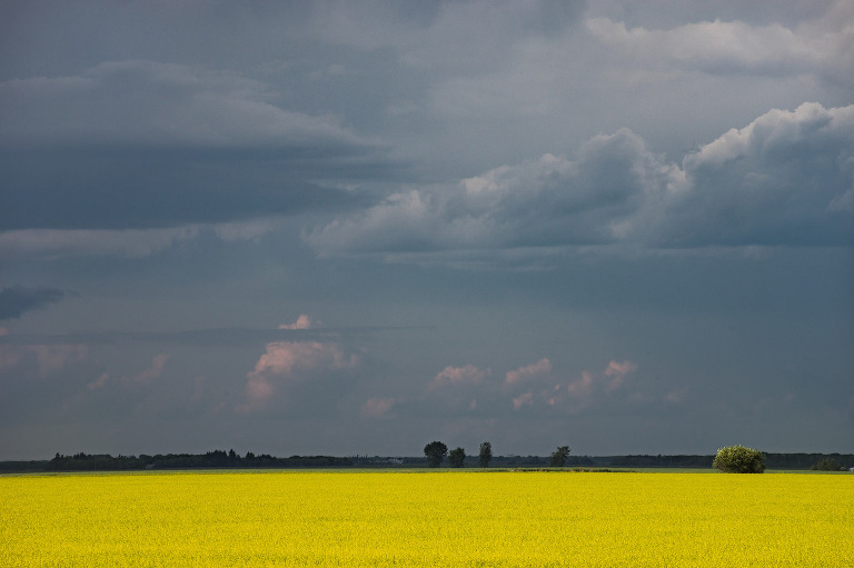 Canola (Outside of Dauphin, Manitoba).